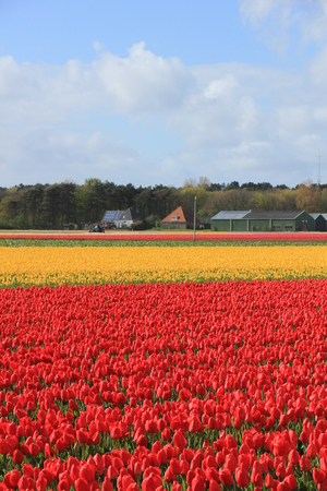 Tulips in a field: Yellow and red tulips growing on an agriculture field Stock Photo