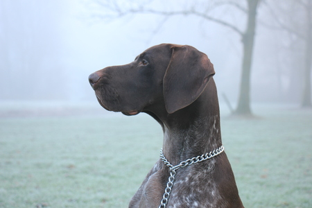 German Shorthaired Pointer two year old male, brown and white