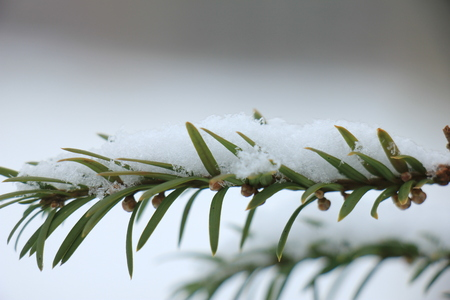 Snow on a pine branch, detail of a christmas tree
