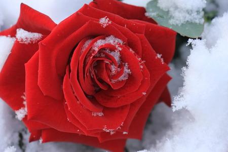 een grote rode roos bedekt met sneeuw Stockfoto