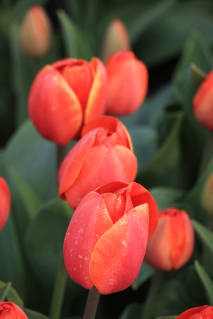 bulb fields: Orange tulips in a field: Tulips growing on an agriculture field Stock Photo
