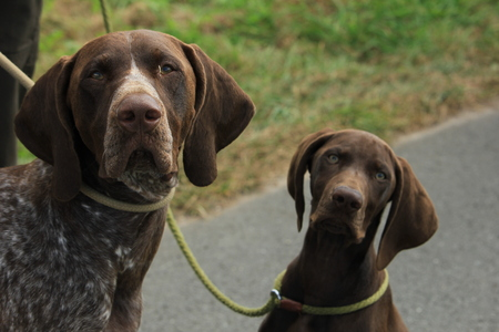 German Shorthaired Pointers, males. Adult and puppy