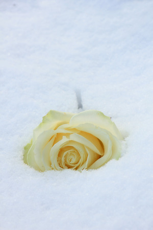 An ivory white rose in the fresh snow