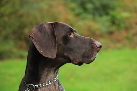 3 year old: German Shorthaired Pointer, 3 year old male