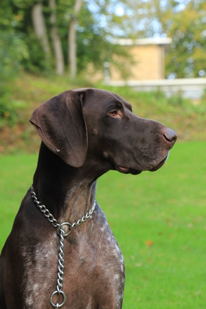 German Shorthaired Pointer, 3 year old male