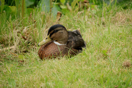 A female duck, relaxing in the grass Stock Photo