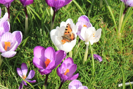 small tortoiseshell butterfly on a crocus in early spring sunlight Stock Photo