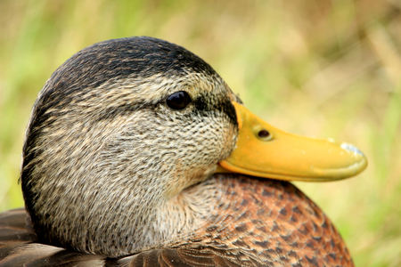 A female duck, closeup shot,  relaxing in the grass Stock Photo