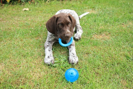 German shorthaired pointer male puppy, 9 weeks old