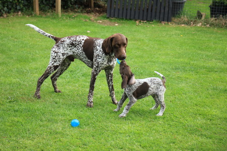 German shorthaired pointers: father and 9 weeks old son
