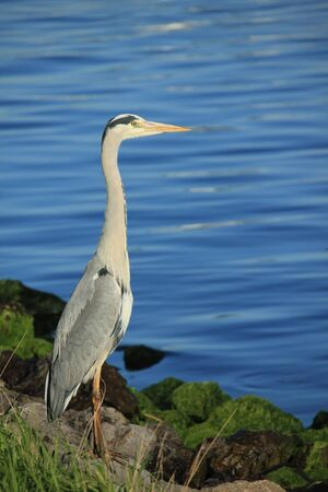A big grey heron on the pavement near a sea harbor