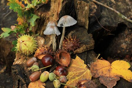 Autumn still life in a fall forest: mushrooms, chestnuts and leaves 写真素材