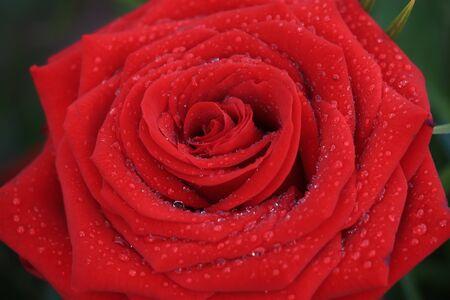 Big wet red rose after a rain shower