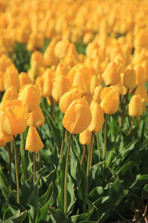 Yellow tulips in a field: flower bulb industry