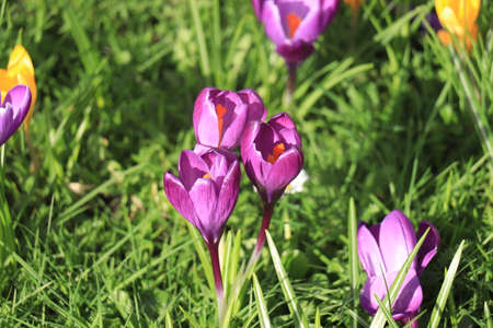 A group of purple and yellow crocuses in the grass Standard-Bild