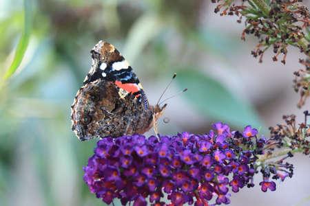 Atalanta or red admiral on purple summer lilac