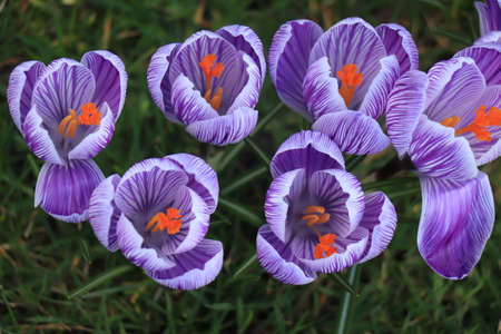 A group of purple white crocuses in the grass