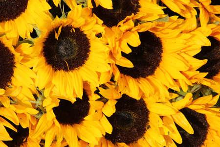 Big group of yellow sunflowers in full sunlight Standard-Bild