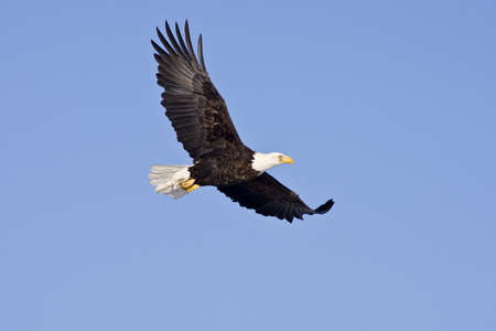 eagle feather: Bald Eagle