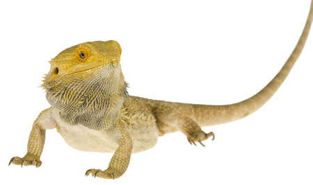 bearded dragon lizard: Bearded dragon isolated on white Stock Photo