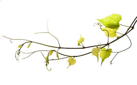 to plant structure: wild grape vine isolated on white
