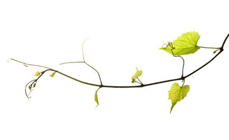 grapes on vine: wild grape vine isolated on white