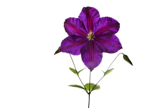 clematis flower: clematis flower on white background