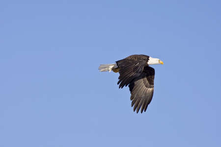 american bald eagle in flight isolated on blue sky