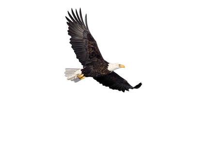 흰색에 고립 된 비행 미국의 대머리 독수리 스톡 콘텐츠