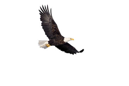 american bald eagle in flight isolated on white