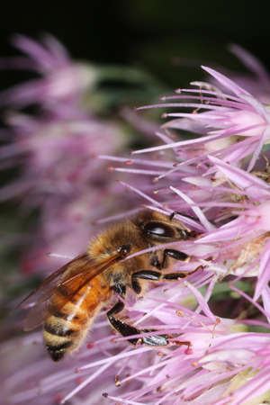 Honey bee on pink flowers  photo