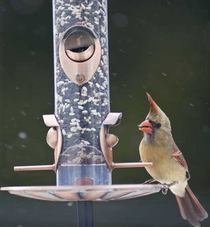 female cardinal: Female Cardinal on a bird feeder Stock Photo