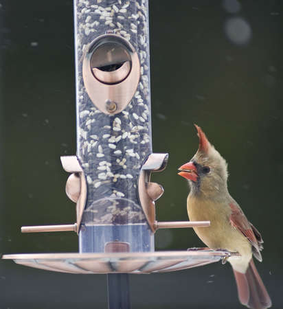 Female Cardinal on a bird feeder photo