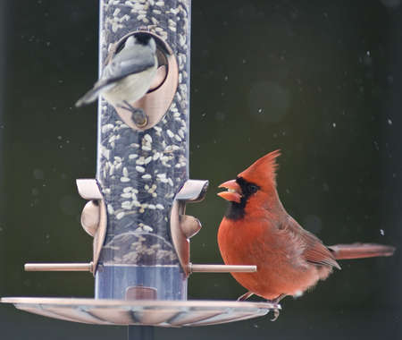 Male Cardinal on a bird feeder photo