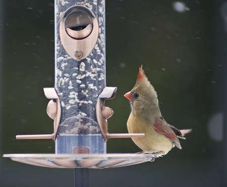 Female Cardinal on a bird feeder photo