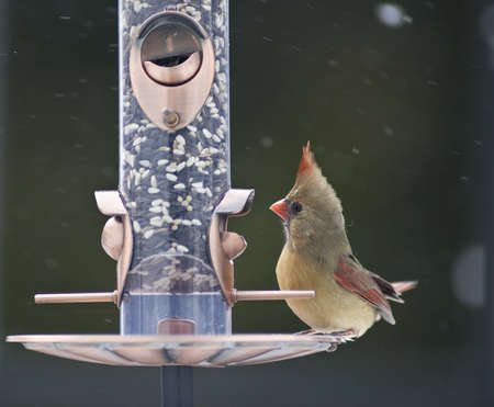 bird feeder: Female Cardinal on a bird feeder Stock Photo