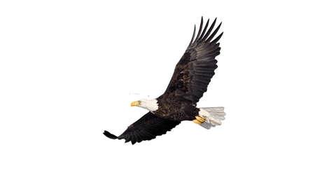 흰색에 고립 된 비행 대머리 독수리