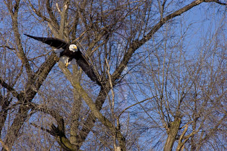 soaring: Bald eagle flying through tree branches