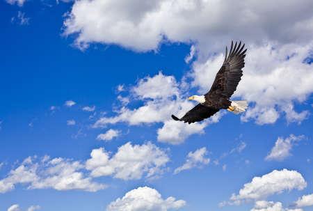 aguila americana: Águila calva en el cielo azul nublado Foto de archivo