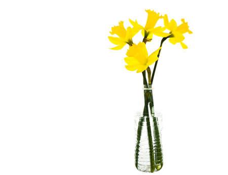 daffodil: spring flowers