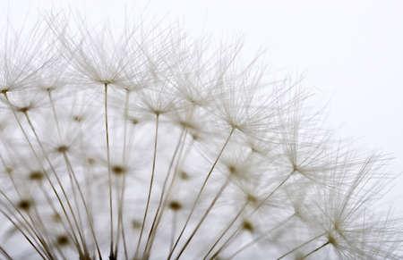 white feather: dandelion