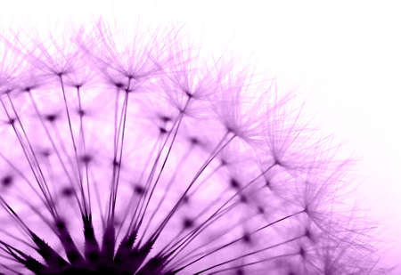 dandelion in purple  photo