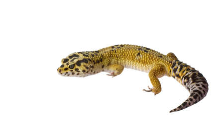 primal: Leopard gecko isolated on white background