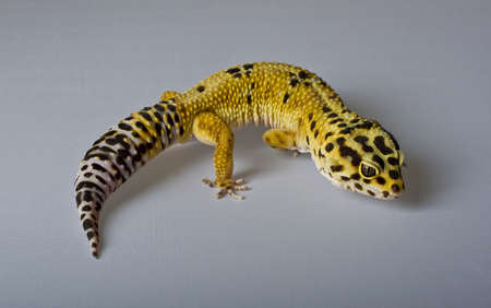 Leopard gecko on gray background Stock Photo - 14860870
