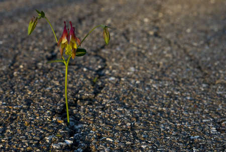 Beautiful flower growing on crack in old asphalt pavement  photo