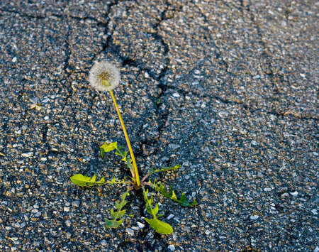 weed growing on crack in old asphalt pavement  photo