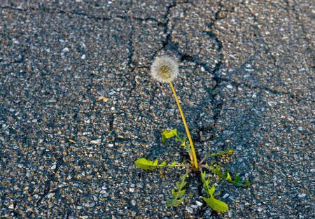 weed growing on crack in old asphalt pavement