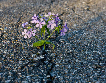 Beautiful flower growing on crack in old asphalt pavement