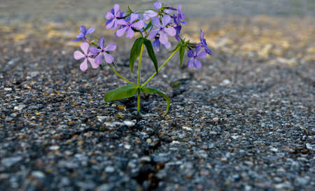 rough road: Beautiful flower growing on crack in old asphalt pavement