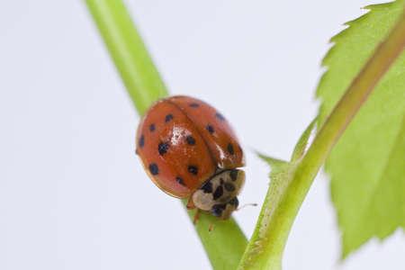 lady beetle: Close up of lady bug on plant  Stock Photo